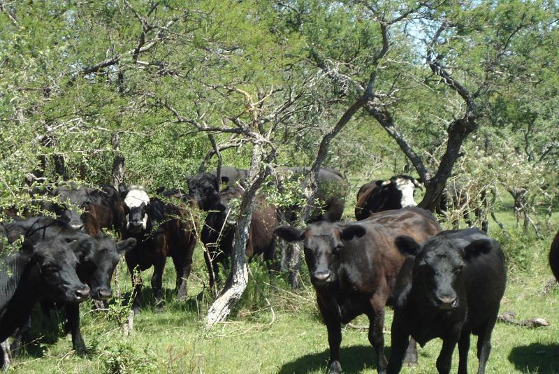 vaca2-1