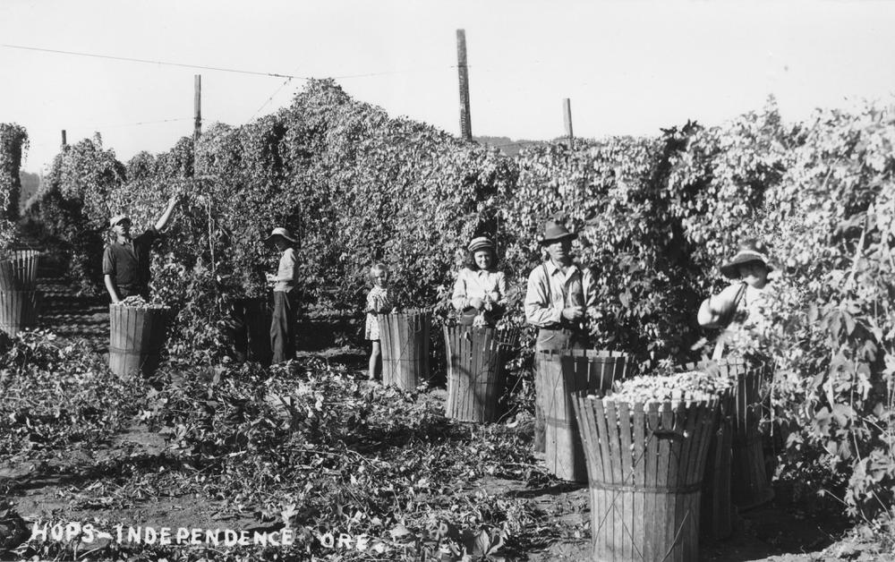 Harvesting_hops_near_Independence_Oregon