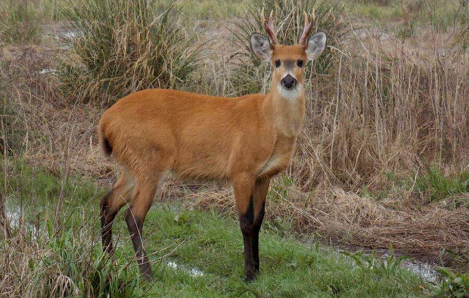 Ciervo-de-los-pantanos-Foto-Guardaparque-Gonzalo-Alves